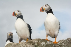 Atlantic Puffin 044