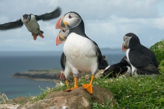 Atlantic Puffin 052