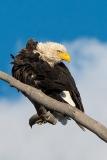 Bald Eagle 009