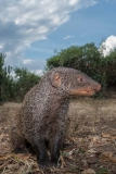 Banded Mongoose 013