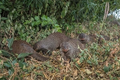 Banded Mongoose 020