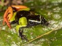 Baron's Mantella Frog