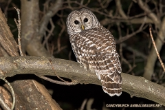Barred Owl 001