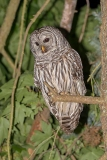 Barred Owl 010