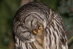 Barred Owl 013