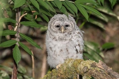 Barred Owl 021