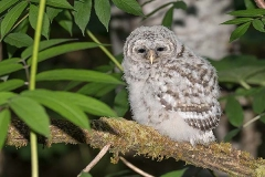 Barred Owl 022