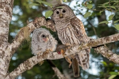 Barred Owl 025