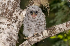 Barred Owl 035
