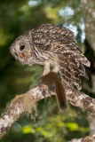 Barred Owl 038
