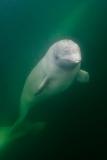 Beluga Whale 14068