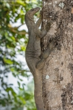 Bengal Monitor Lizard 001