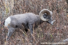 Rocky Mountain Bighorn Sheep 001