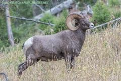 Rocky Mountain Bighorn Sheep 004
