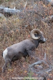 Rocky Mountain Bighorn Sheep 011