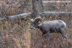 Rocky Mountain Bighorn Sheep 033
