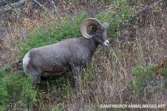 Rocky Mountain Bighorn Sheep 034