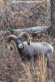 Rocky Mountain Bighorn Sheep 039