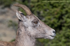 Rocky Mountain Bighorn Sheep 051