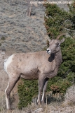 Rocky Mountain Bighorn Sheep 053