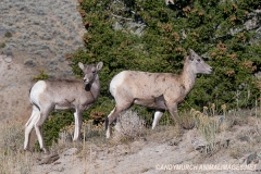 Rocky Mountain Bighorn Sheep 060