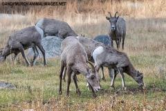 Rocky Mountain Bighorn Sheep 070