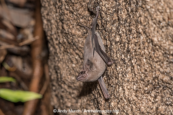 Black-bearded Tomb Bat 008