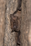 Black-bearded Tomb Bat 003