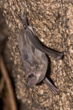 Black-bearded Tomb Bat 006