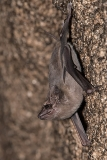 Black-bearded Tomb Bat 010