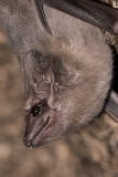 Black-bearded Tomb Bat 012