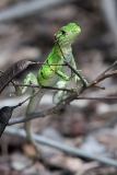 Black Iguana Juvenile 003