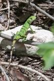 Black Iguana Juvenile 011