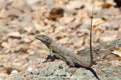 Black Spiny-tailed Iguana 004