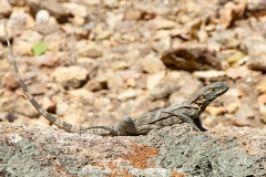 Black Spiny-tailed Iguana 005