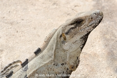 Black Spiny-tailed Iguana 012