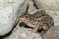 Black-spotted Pond Frog 021