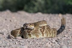 Black-tailed Rattlesnake 002