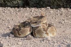 Black-tailed Rattlesnake 005