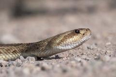 Black-tailed Rattlesnake 006