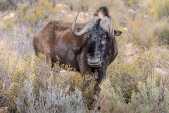 Black Wildebeest 007