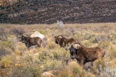 Black Wildebeest 025