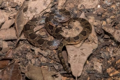 Blotched Hooknose Snake 003