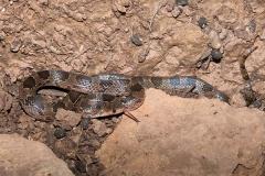 Blotched Hooknose Snake 009