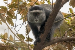 Blue Monkey 005