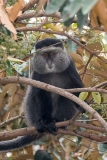 Blue Monkey 017