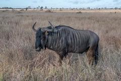 Blue Wildebeest 015