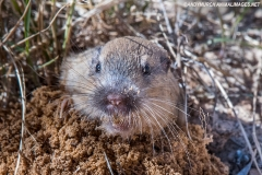 Botta's Pocket Gopher 002