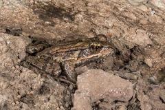 Bronze Frog 003