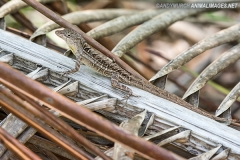 Bahaman Brown Anole 021